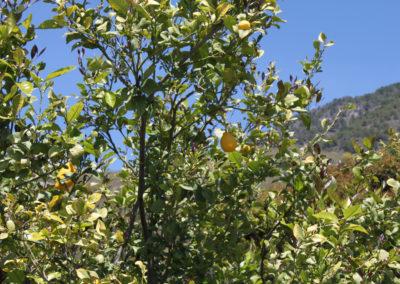 G11 - Diverse frugttræer ved huset.