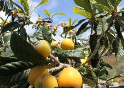 G366 - Frugttræer i haven.